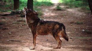 Investigadores de la Universitat de Valencia crean una herramienta para analizar el estatus reproductivo de las manadas de lobos