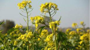 El aceite de colza enriquecido con omega 3 disminuye el riesgo de enfermedades cardiovasculares