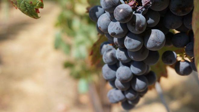 Un extracto del hueso de uva protege de las alteraciones intestinales