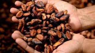 Desarrollan fármacos efectivos frente a enfermedades esqueléticas gracias al cacao