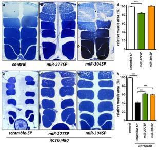 Imágenes que muestran secciones longitudinales de los IFM (músculos indirectos de vuelo) en Drosophila melanogaster o mosca del vinagre. El gráfico muestra en cuatro imágenes (c-f) el aumento del gen muscleblind (en verde), como consecuencia del silenciamiento de otro, miRNAs.